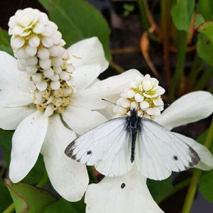 Butterfly feasting on Anemopsis californica