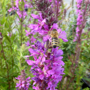 Plants for pollinating wildlife