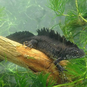 Male Great Crested Newt in your pond