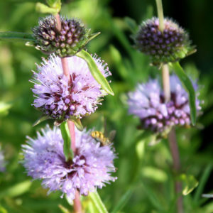 Plants for Bugs: Pollinating insects