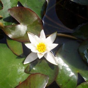 Nympahaea Pygmaea Alba