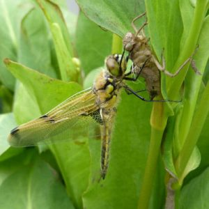 Emerging dragonfly on Anemopsis californica pond plant leaf