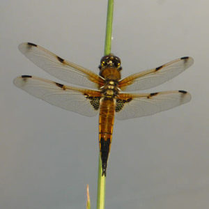Emerged dragonfly on tall pond plant stem