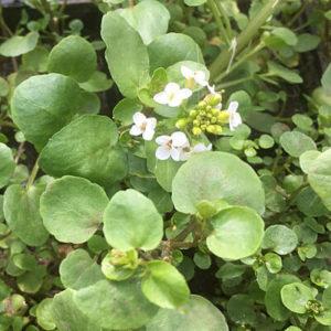 Rorippa nasturtium aquaticum