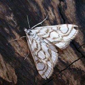 China Mark Moth adult