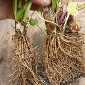 Repotting a rooted clump of Caltha palustris