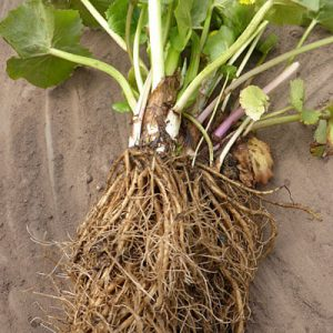 Caltha plant lifted from basket