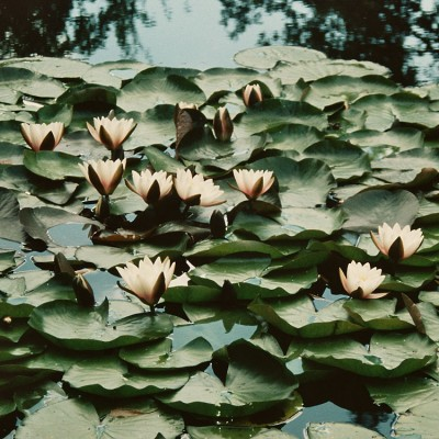 dense, flat growing leaved waterlilies
