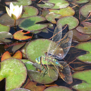 Waterlily pond plants for dragonflies & damselflies to rest on while laying eggs