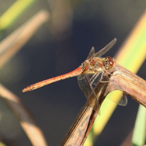 dragonflies & other wildlife visit garden ponds