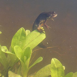 Female Smooth newt laying eggs on a Myosotis leaf