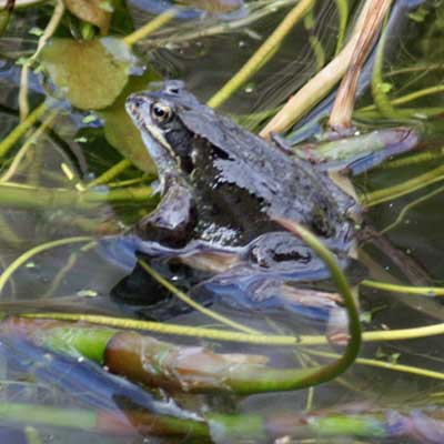 Frog return to the pond to mate and lay spawn