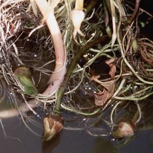 Sagittaria sagittifolia turions(bulbils)