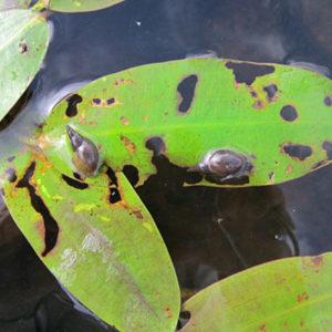 Pointed pond snail damage