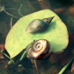 Great pointed snail and Ramshorn snail