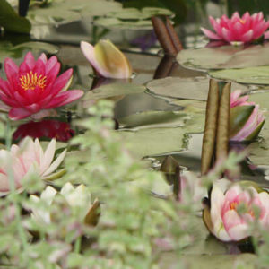 Assorted waterlilies