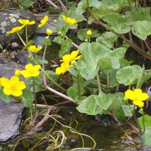 Caltha (Marsh Marigold) - pond plant of the month