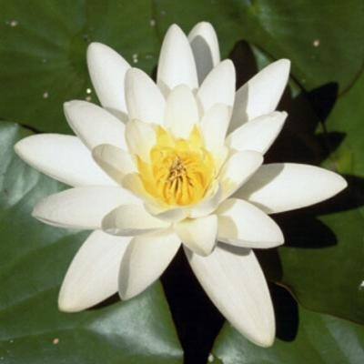 waterlilies_3
