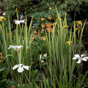 Irises in a pond and in the damp emergence zone nearby