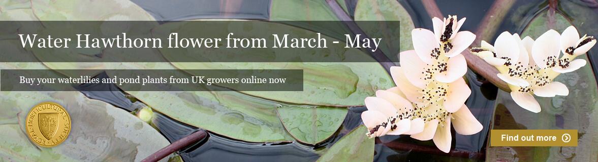 Water Hawthorn in flower