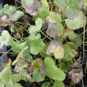 Autumn Caltha palustris foliage