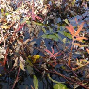 Autumn Potentilla palustris with dead leaves on the reddish stems