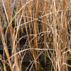 Autumn Typha lugdunensis brown foliage through Winter