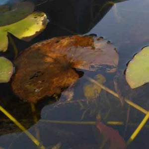 At the start of Autumn Waterlilies with brown leaves sinking below the water surface