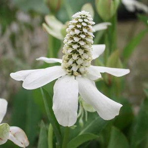 Pond plants - Anemopsis californica. Long flowering pond plant with cream flower throughout summer