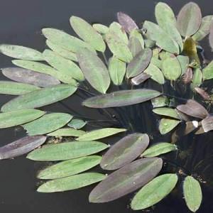 Aponogeton distachyos Water Hawthorn in full leaf