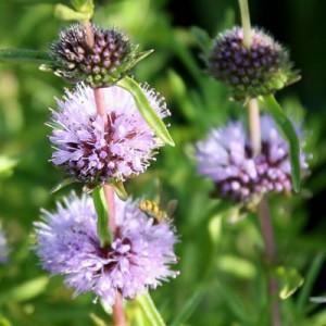 insect pollinators on Mentha cervina