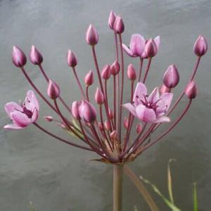 Butomus umbellatus - Marginal shelf pond plant. Many pale pink flowers on umbel head