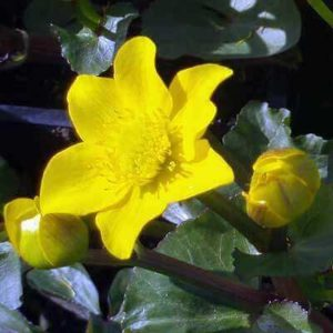 Plants for Ponds - Caltha palustris British Native Marsh Marigold flowers yellow in March