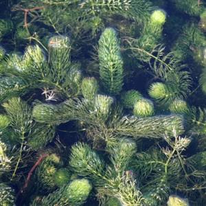 Ceratophyllum demersum Hornwort British Native oxygenating pond plants