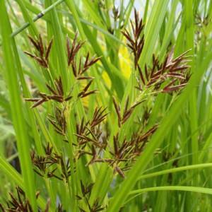 Cyperus longus Sweet Gallingale