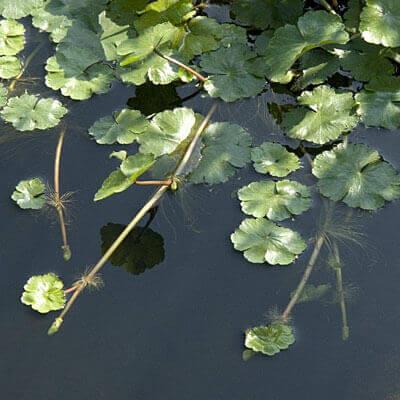 Hydrocotyle ranunculoides