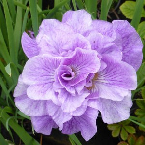 Divide moist and pond Iris plants now