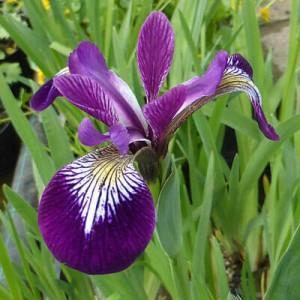 Iris versicolor Mysterious Monique