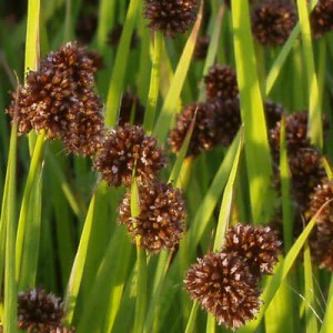 Juncus ensifolius Flying Hedgehogs