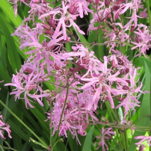 Lychnis flos cuculi British Native moist plant (Ragged Robin) with pink flowers