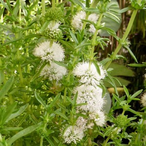 Spearmint Mentha cervina alba
