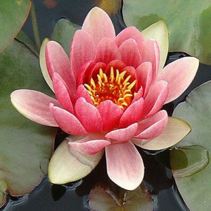 Waterlily - Nymphaea Attraction