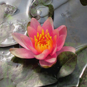 Waterlilies for small ponds