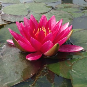 Nymphaea Gloriosa cerise waterlily for deeper water