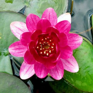 Dwarf waterlily - Nymphaea Perrys Baby Red