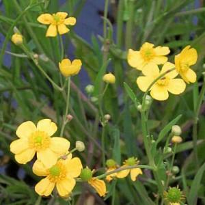 Lesser Spearwort Ranunculus flammula