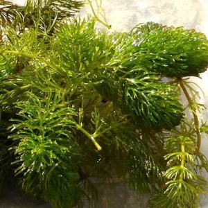 Ceratophyllum demersum - Hornwort. British Native oxygenating pond plant