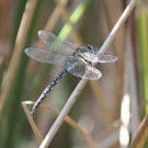 A dragonfly resting