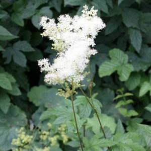 Filipendula ulmaria Meadowsweet with fluffy white seed heads above dark green leaf