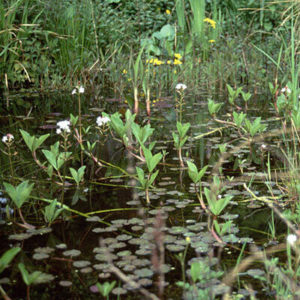 Native pond plants